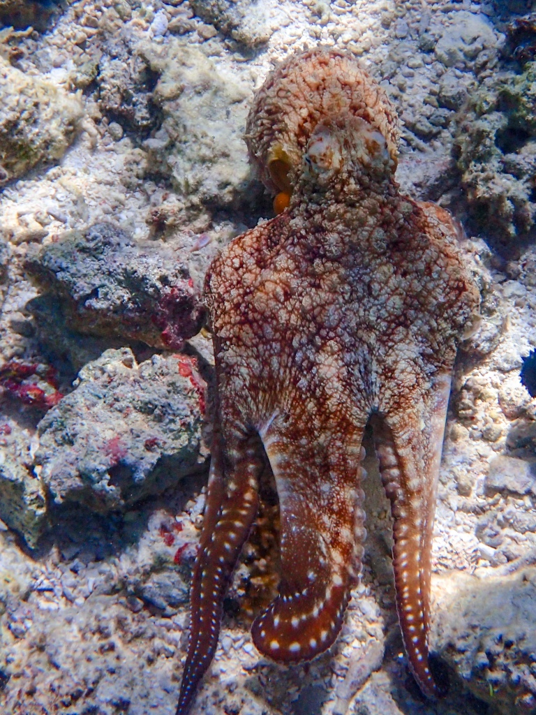 Octopus moving across a tide pool
