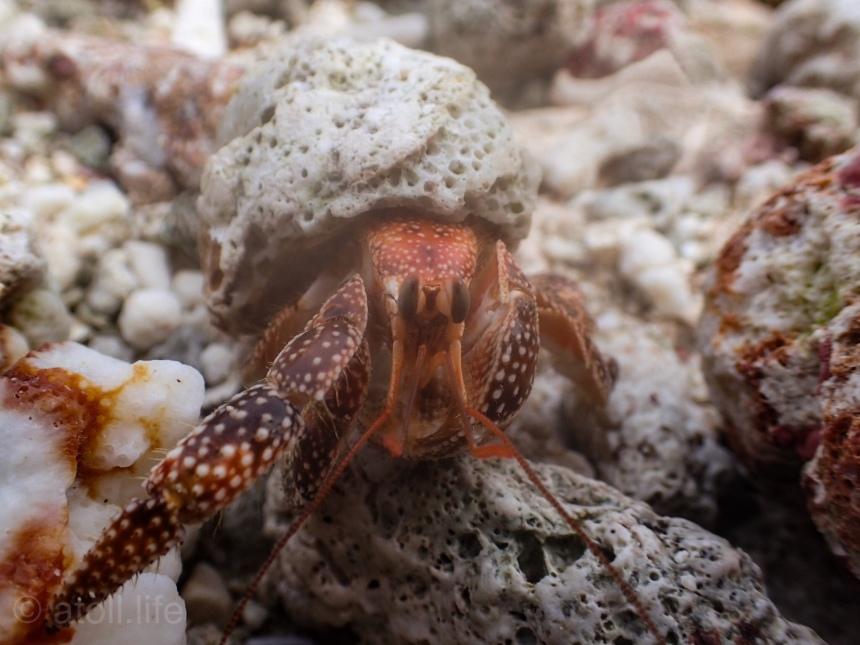 Kwaj hermit crab